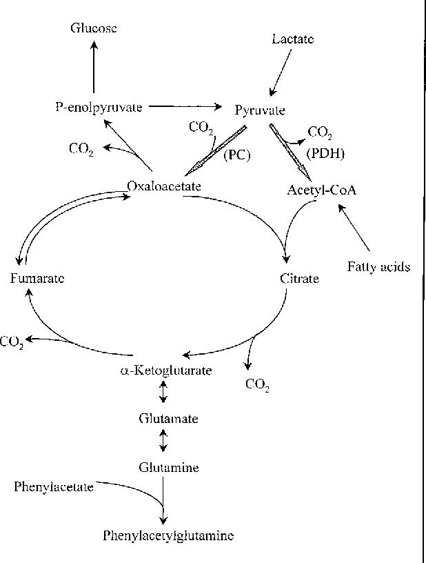 Glutamate And Glutamine In Metabolism Glutamate A Window On Liver