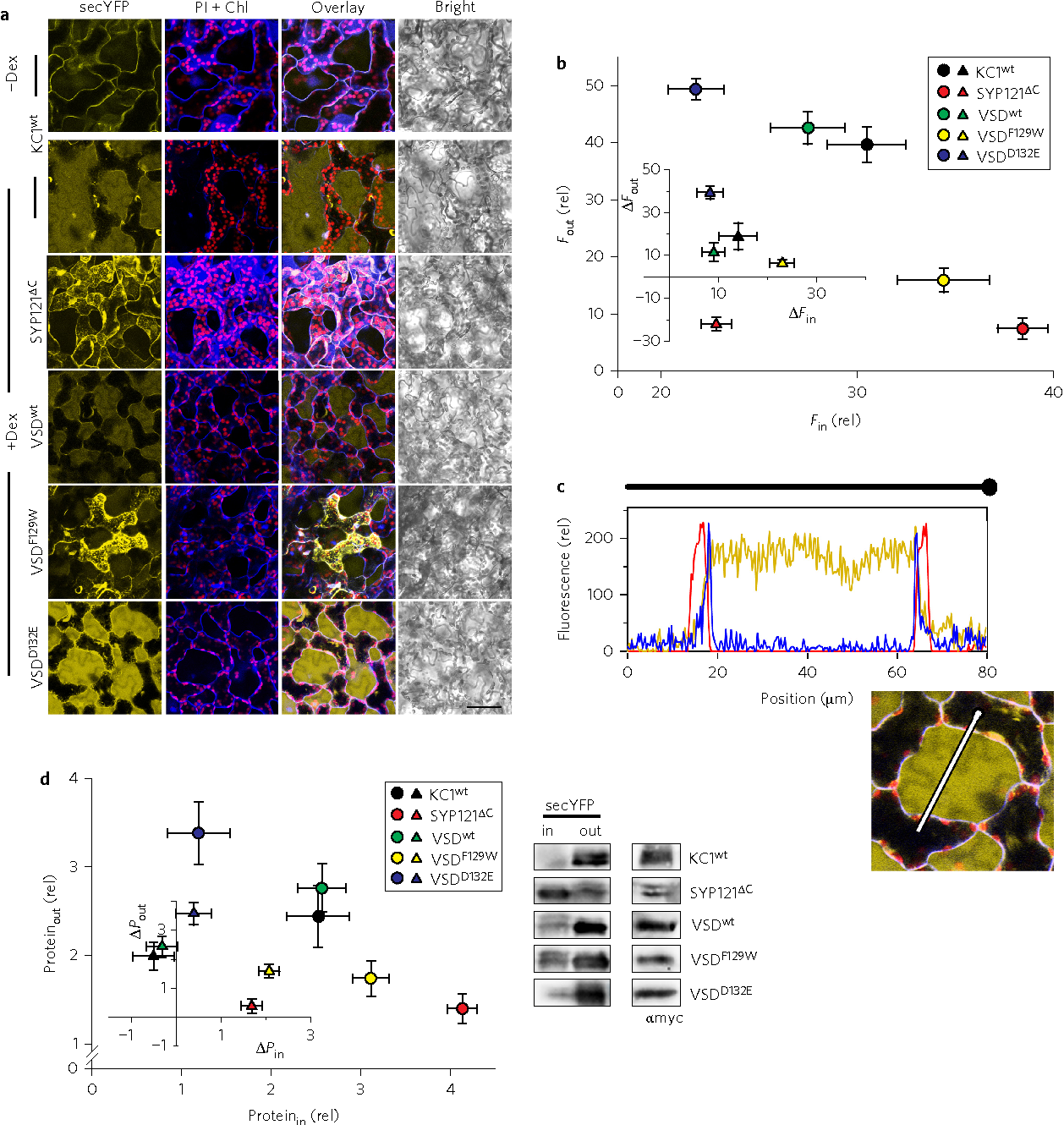 Figure 4 | KC1 and its VSD promote secretion in parallel with VSD voltage bias. a, Confocal images from wild-type Arabidopsis leaf mesophyll stably transformed to express secYFP and, on dexamethasone (Dex) induction, full-length KC1 K+ channel (KC1wt), its VSD (VSDwt), the up (closed, VSDF129W) and down (open, VSDD132E) conformers, and SYP121ΔC as a control. Leaves were infiltrated with 10 μM propidium iodide (PI) to label the cell wall. Fluorescence