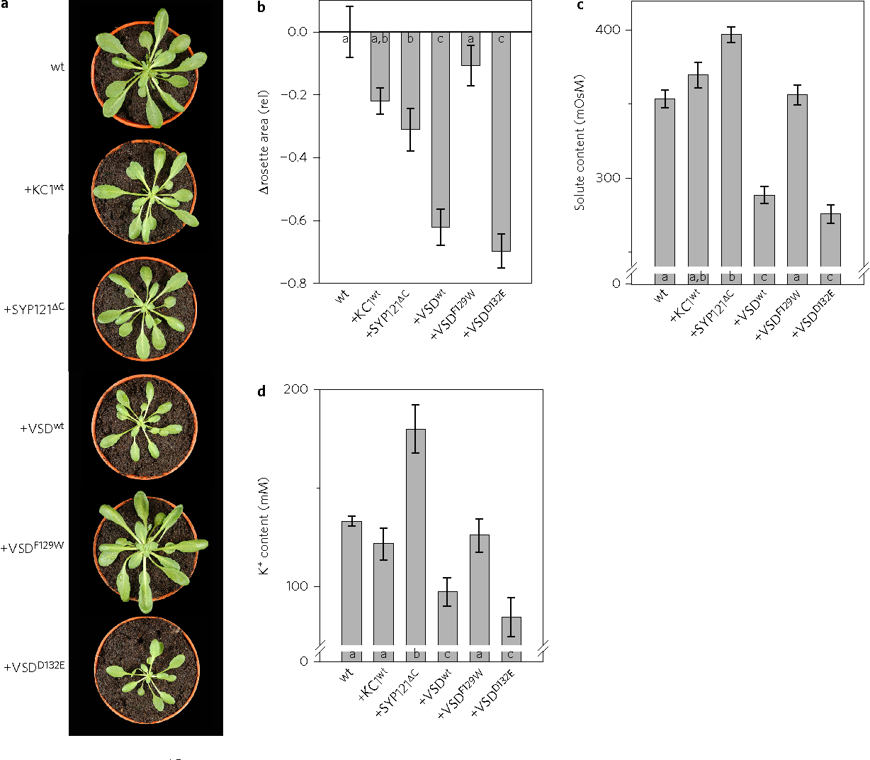 Figure 5 | KC1, its VSD, and SYP121ΔC suppress plant growth and, differentially, K+ and osmotic content. a, Vegetative rosettes of 4-week-old wild-type Arabidopsis and representative lines stably transformed to express secYFP and, on dexamethasone (Dex) induction, full-length KC1 K+ channel (KC1wt), its VSD (VSDwt), the up (closed, VSDF129W) and down (open, VSDD132E) conformers, and SYP121ΔC as a control. Plants were grown in the presence of 10 μM dexamethasone (Dex) and expression was verified by immunoblot (Fig. 4). Plants of the same lines grown in parallel −Dex were indistinguishable from the wild-type. b, Mean rosette surface areas for each set of three lines grown with 10 μM Dex normalized to mean areas for the lines grown −Dex. Data are