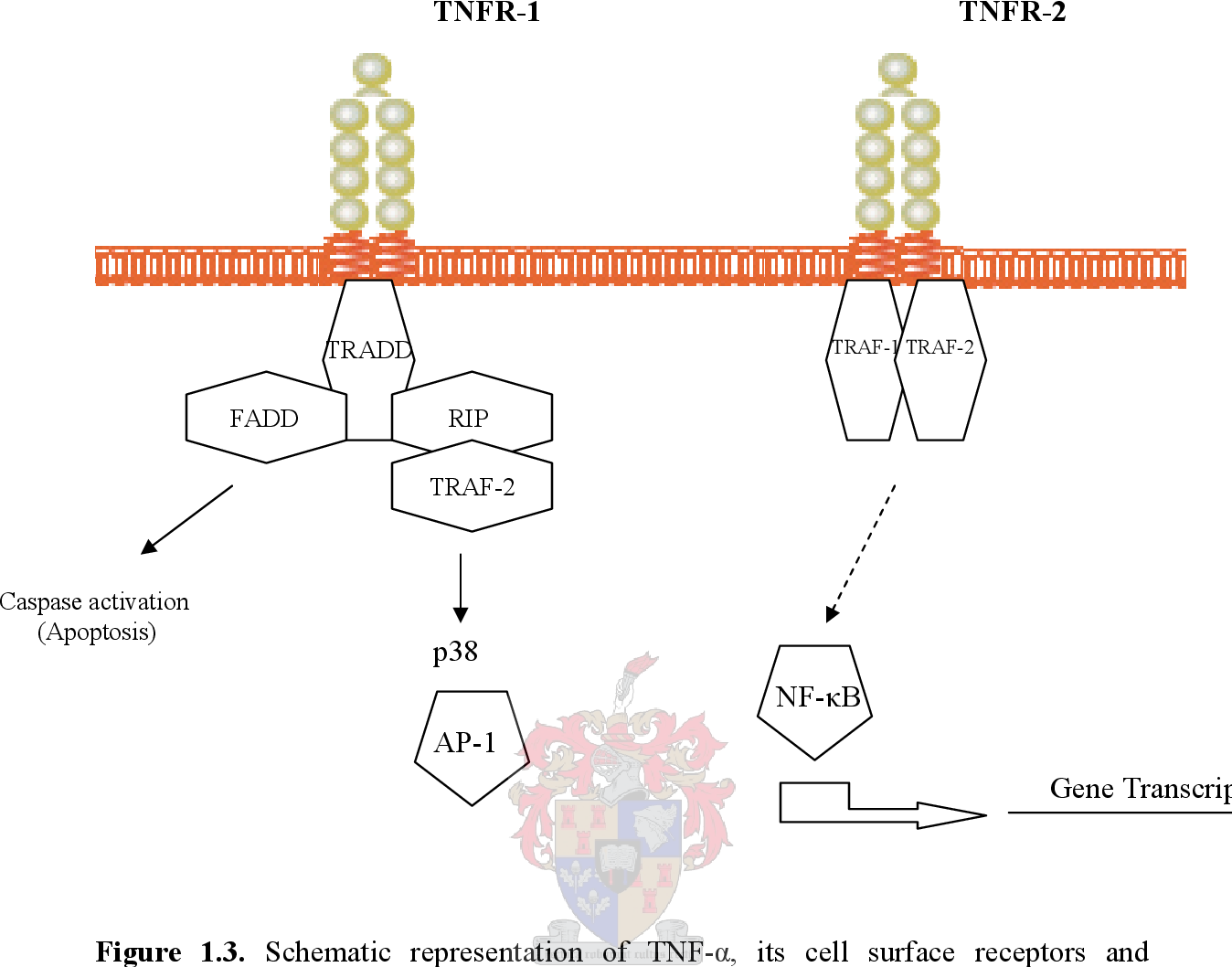 Figure 1.3. Schematic representation of TNF-α, its cell surface receptors and associated signalling molecules. Details are discussed throughout the text. TNFR, TNF-α receptor; TRADD, TNFR-associated protein with death domain; TRAF, TNFR-associated fctor; FADD, Fas-associated death domain; AP-1, activator protein1; RIP, receptor interacting protein; NFκB, nuclear factor κB (modified from Sack, 2002).