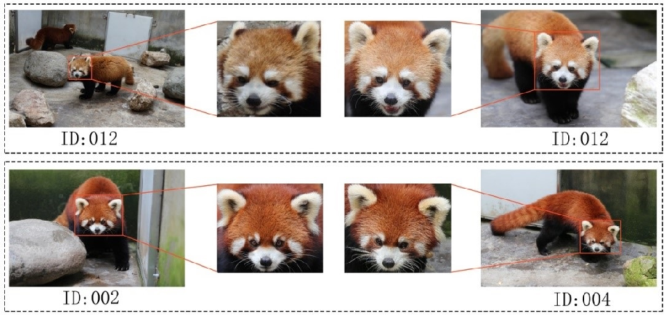 Figure 1 for Distinguishing Individual Red Pandas from Their Faces