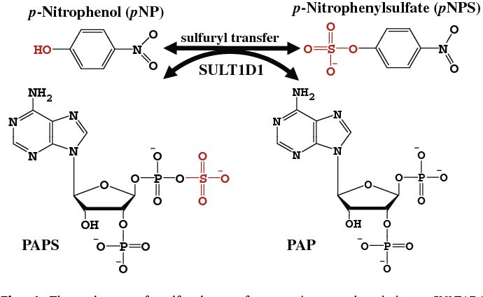 The PAPS Independent Aryl Sulfotransferase and the