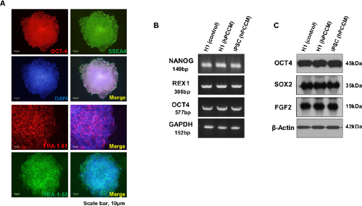 A Novel Culture Model for Human Pluripotent Stem Cell