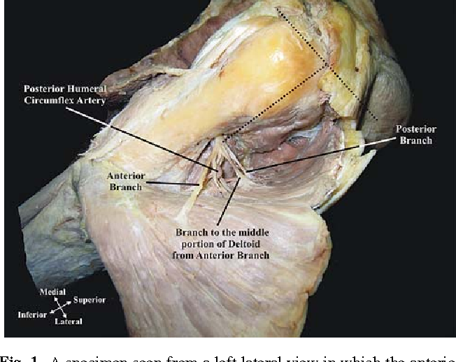 Mapping The Axillary Nerve Within The Deltoid Muscle Semantic Scholar