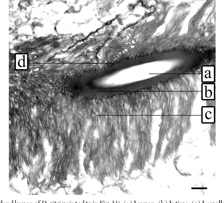 Fig. 12. Accessorygland lumenofD. citripointed to inFig. 11i. (a)Lumen. (b) Intima. (c)Lamellae, possiblyendoplasmic reticula. (d) Punctate material occurs at the base of each lamella. Line 0.5 m.