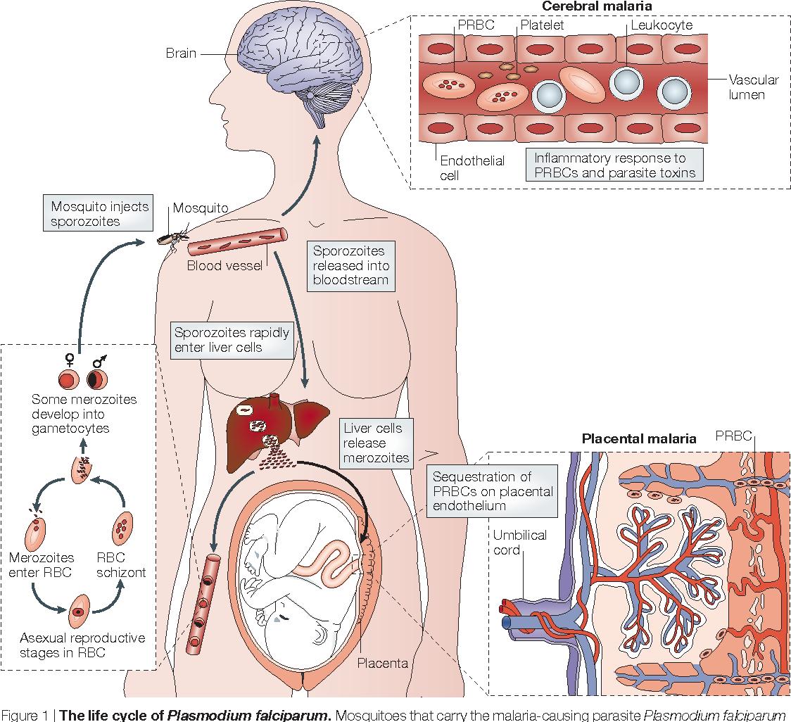 Immunological processes in malaria pathogenesis - Semantic Scholar