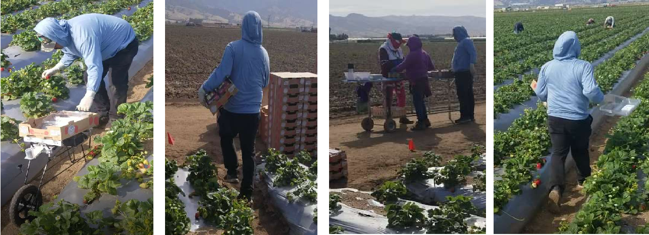 Figure 1 for A strawberry harvest-aiding system with crop-transport co-robots: Design, development, and field evaluation