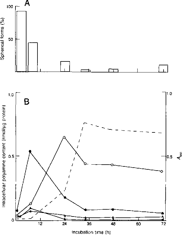 Figure 1. (A) Morphological changes and (B) polyamine analysis in the cells of Campylobacter jejunL O - - Spermidine; • - - cadaverine; A - - spermine; • - - agmatine; . . . . . growth (Ass0)