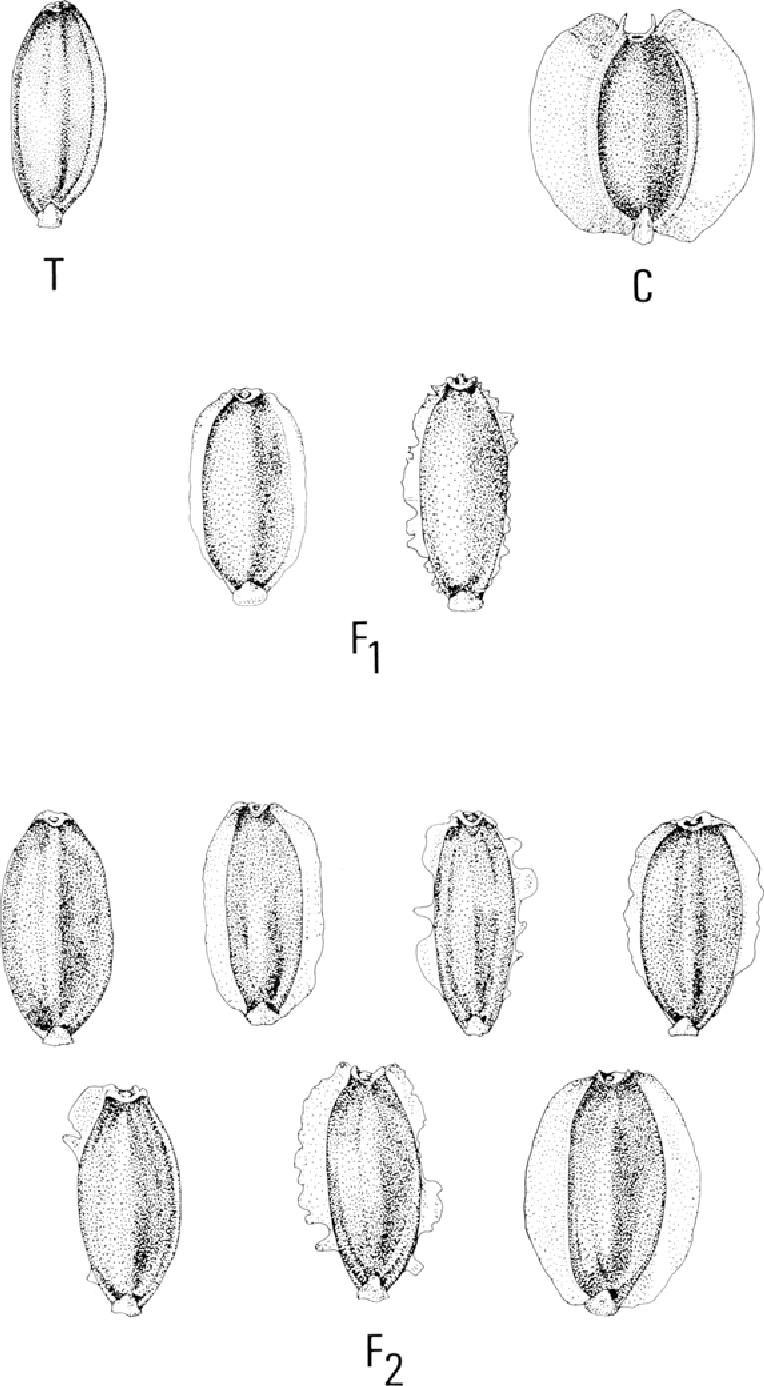 1 Achenes Of Coreopsls Tinctoria T C Cardamine