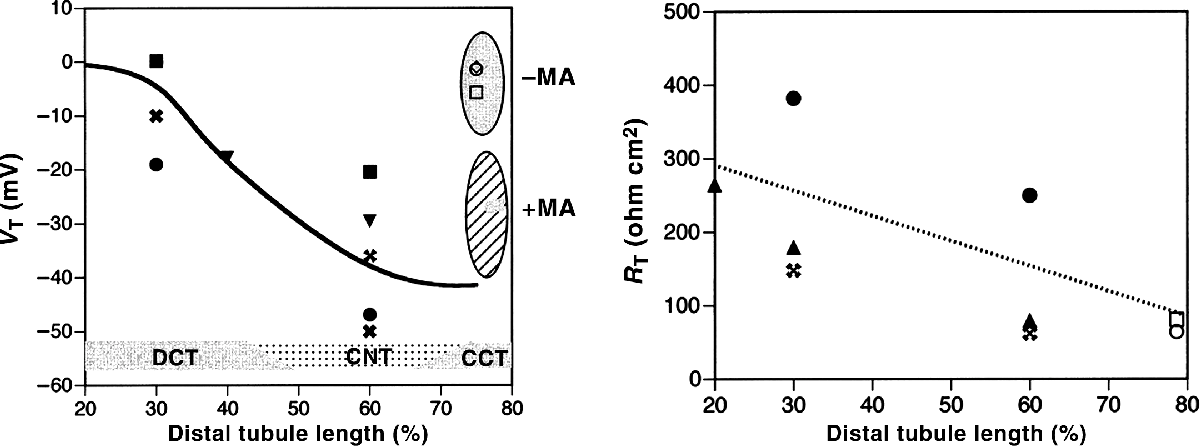 Figure 2 From Distal Convoluted Tubule Semantic Scholar