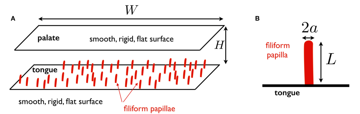 Sensing in the Mouth: A Model for Filiform Papillae as Strain ...