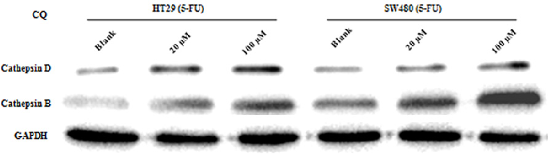 Figure 5. Cathepsins might function in the synergistic interaction between 5-FU and CQ. The expression changes of cathepsin D and cathepsin B were determined by western blot within HT-29 and SW480 cells, which had been pretreated with 5-FU and followed by different dosages of CQ for 24 hours. Results were representatives from 2 independent experiments.