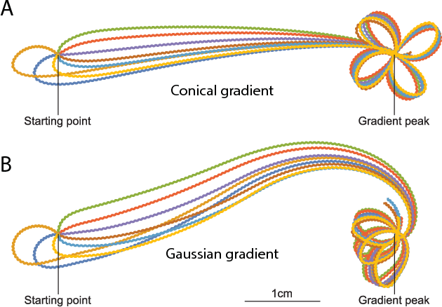 Figure 3: Behavior of the best evolved agent on a conical gradient (A) and a Gaussian gradient (B) over different initial orientations.