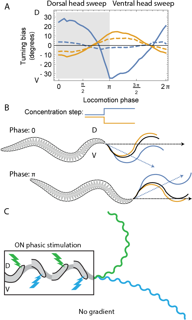 Figure 7: Sensorimotor transformation. (A) Phase sensitivity of orientation responses. Response to upsteps (blue). Response to downsteps (yellow). Plots show turning bias versus the phase of locomotion at which the concentration step occurred. Dashed traces indicate the response during a step of smaller magnitude. Dorsal head sweep marked in shaded region. (B) Shape of the body during different phases of locomotion and the effect of positive and negative changes in concentration on the translational direction of the worm. Increase/decrease in concentration at the start of a ventral head sweep (phase 0) leads to a dorsal/ventral bias in the translational direction of the worm (blue/yellow trace) relative to the unstimulated condition (black trace). The opposite is true at the start of a dorsal head sweep (phase π). In all cases, the model worm corrects its orientation towards the peak implied by the change in concentration. (C) Phasic stimulation leads to worm track curvature in the absence of gradients. Stimulation to the ON cell during ventral headsweeps (phase 0− π) leads to ventral curvature (blue trace). Stimulation to the ON cell during dorsal head-sweeps (phase π − 2π) leads to dorsal curvature (green trace).