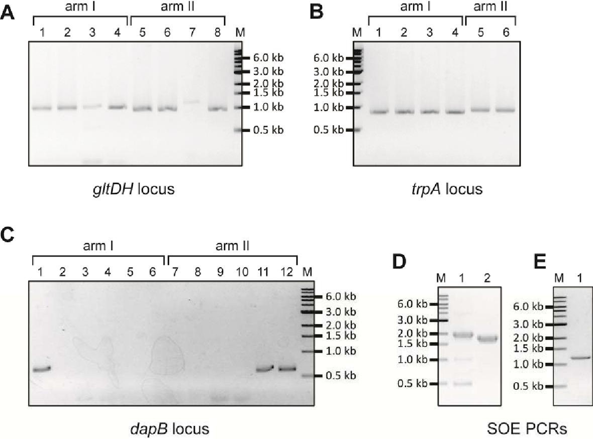 Figure 3-3 PCR construction of cloning regions for cloning vectors