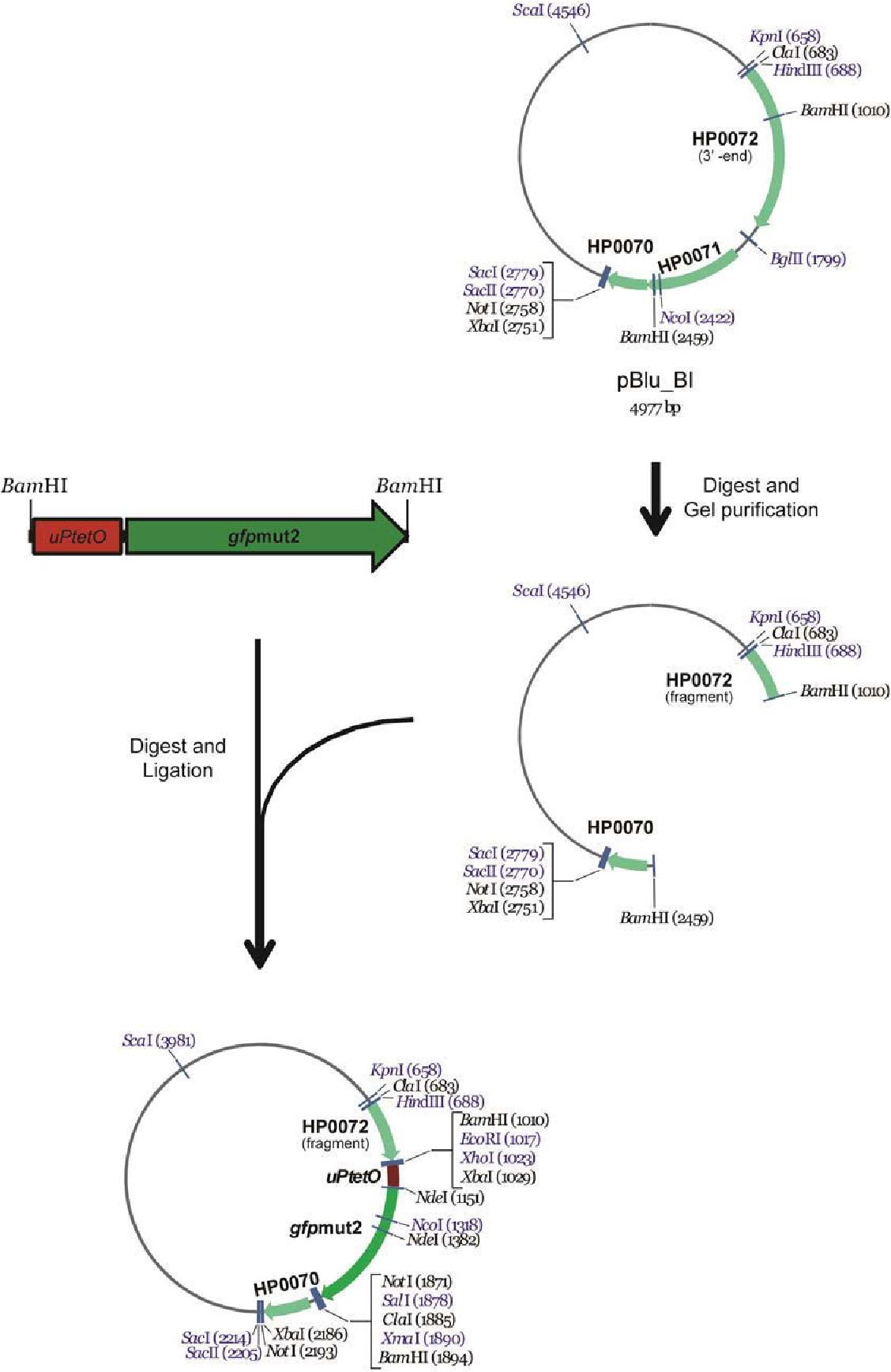 Figure 3-16 Construction of pBlu_uPtetO-GFP (pAD314-pAD316)