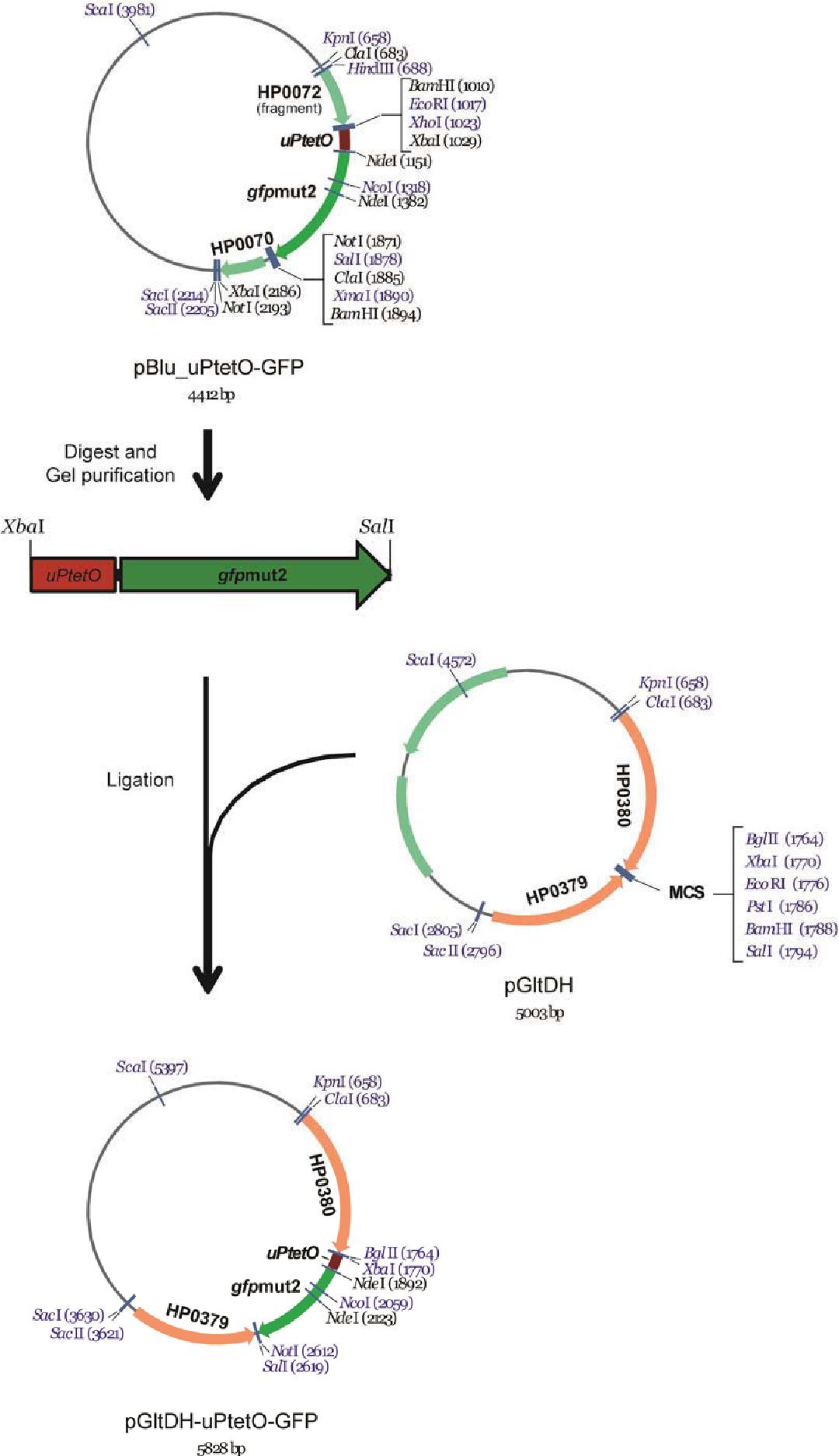Figure 3-17 Construction of plasmid pGltDH-uPtetO-GFP (pAD320-pAD322)