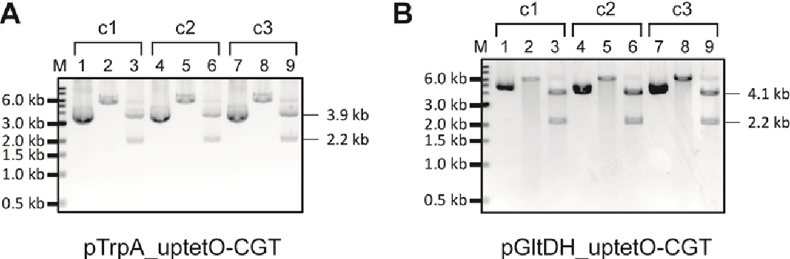 Figure 3-25 Construction of transformation plasmids harbouring uPtetO-CGT A. Restriction analysis of plasmid isolated from E. coli transformants for pTrpAuPtetO-CGT. Specific examples are of pTrpA-uPtetO1-CGT