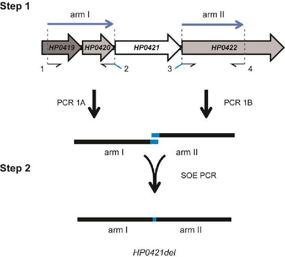 Figure 3-29 PCR construction HP0421 clean deletion construct, HP0421del