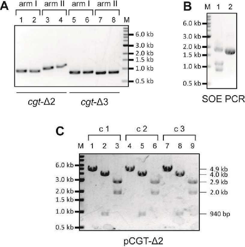 Figure 3-33 Construction of pCGT-Δ2 and pCGT-Δ3