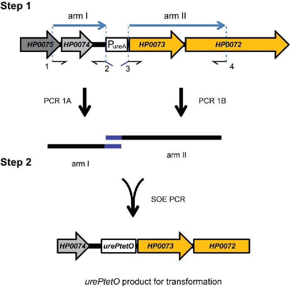 Figure 3-42 Diagram of PCR construction strategy for urePtetO
