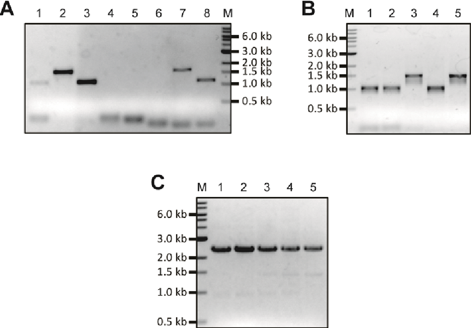 Figure 3-43 PCR construction of urePtetO A. Amplification of arms I and II for urePtetO using Pwo, annealing temperature 55 °C and5 % DMSO