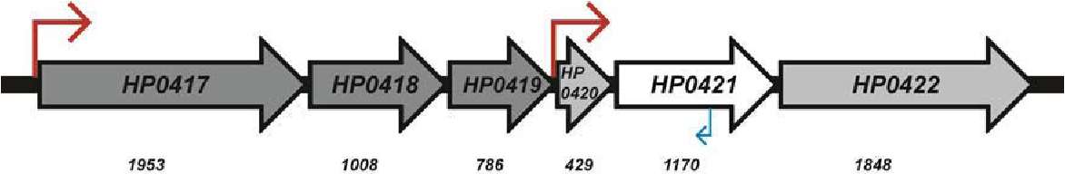 Figure 5-4 Schematic diagram of the cgt genomic locus The ORFs of the HP0417-HP0422 operon and HP0420-HP0422 suboperon are depicted. The size of each ORF is indicated below (bp). The transcriptional start points are indicated by the red arrows. The antisense RNA transcribed from this locus is indicated by a blue arrow.