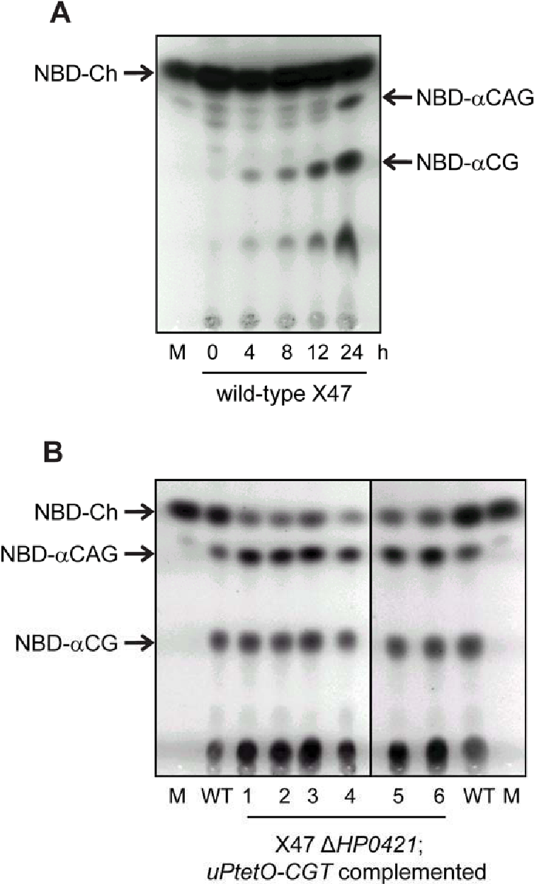 Figure 5-8 Assay for CGT activity using NBD-cholesterol