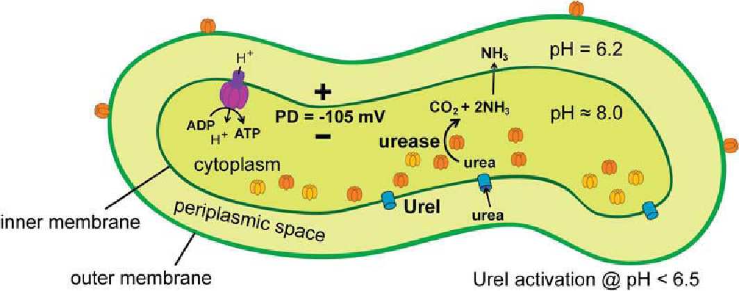 Figure 6-1 Model of H. pylori urease mediating acid resistance The inner and outer membrane is separated by the periplasmic space. PMF, required for ATP synthesis by F1F0 ATP synthase (purple structure) and membrane transport, is dependent on both the pH gradient across the inner membrane and membrane potential (PD). Urea transport into the cytoplasm is regulated by UreI, an acid-gated urea channel (blue cylinder). Cytoplasmic urease is able to compensate for environment acidity by the hydrolysis of urea when the external pH decreases to < 6.5. This enables the buffering of the periplasmic space to about pH 6.2, which in turn provides a stable PD over a relatively wide range of gastric pH encountered by H. pylori. Active urease (orange oval cluster) and urease apoenzyme (yellow oval cluster). (Adapted from (Scott et al., 1998))