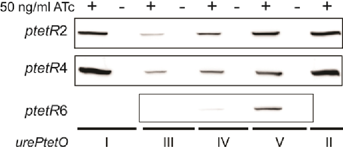 Figure 6-6 Tet-regulation of urePtetO in H. pylori Tet-ON strains UreB protein was detected in H. pylori strains harbouring urePtetO and expressing TetR (ptetR2, ptetR4 and ptetR6). Bacteria were cultured in the absence or presence of 50 ng/ml ATc for 48 h and fresh bacteria cultures were used to prepare whole cell lysates. Equal amount of protein (~15 μg) was loaded into each lane and separated on a 10% SDS–PAGE gel. The urePtetO construct is specified under the bars. UreB protein could not be detected in samples from bacteria grown in the absence of ATc. UreB expression was strongly induced in strains harbouring urePtetOI, II and V. UreB expression was weaker in strains harbouring urePtetOIII and IV.