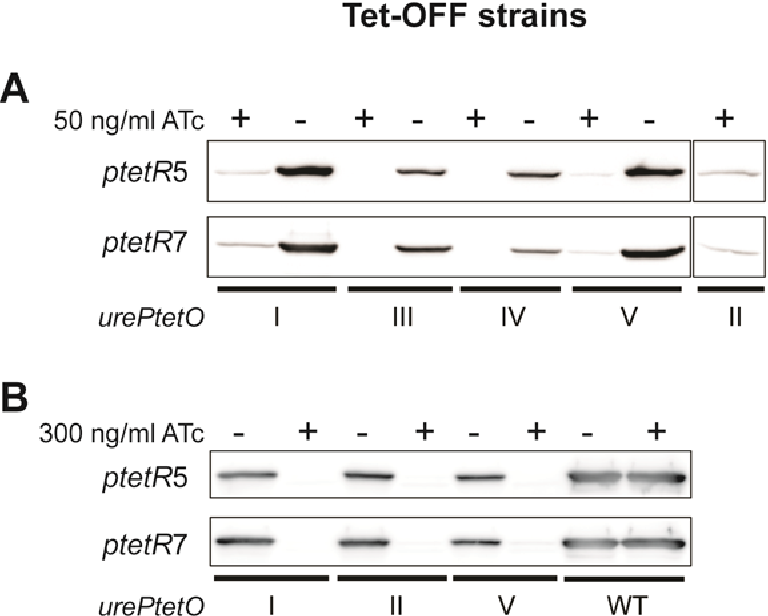 Figure 6-7 Tet-regulation of urePtetO in H. pylori Tet-OFF strains UreB protein was detected in H. pylori strains harbouring urePtetO and expressing revTetR (ptetR5 and ptetR7). Bacteria were cultured in the absence or presence of ATc for 48 h and fresh bacteria cultures were used to prepare whole cell lysates. Equal amount of protein (~15 μg) was loaded into each lane and separated on a 10% SDS– PAGE gel. The urePtetO construct is specified under the bars. (A) Strains grown in the presence of 50 ng/ml ATc. UreB protein could not be detected in strains harbouring urePtetOIII and IV when grown in the presence of 50 ng/ml ATc but could be detected, although at significantly reduced levels, in strains harbouring urePtetOI, II and V. (B) Strains grown in the presence of 300 ng/ml ATc. Complete repression of UreB expression was achieved in strains harbouring urePtetOI, II and V using higher ATc concentrations. High ATc concentration did not alter UreB expression in wild-type X47 strain (WT).
