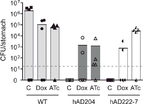 Figure 6-16 Optimization of in vivo model for tet-regulated urease expression Mice groups were supplemented without (C) or with either 5 μg/ml of Dox or ATc in their drinking water. Animals were orally challenged with wild-type strain X47, with pre-induced Tet-ON strain, X47 mdaB::ptetR4; urePtetOI (hAD204) or a pool of preinduced Tet-ON mouse re-isolates (hAD222-7). Animals were sacrificed two weeks after oral challenge. Bars represent mean bacterial load per group (n = 5) and points plotted represent colonization density for each individual animal. Detection limit was < 20 CFU per stomach (dotted horizontal line). Gastric specimens without H. pylori reisolation are shown as null.