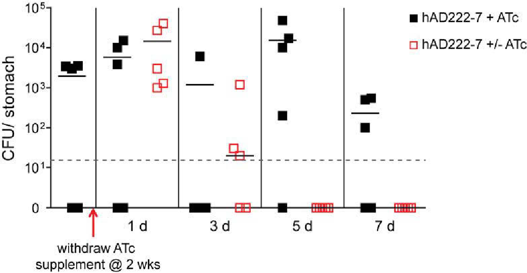 Figure 6-17 Tet-regulation of urePtetO in vivo Mice were orally challenged with pre-induced Tet-ON mouse re-isolate strains, hAD222-7, and supplemented with 5 μg/ml ATc for two weeks. ATc supplement was maintained (+) or withdrawn (-) and animals were sacrificed 0, 1, 3, 5 and 7 days later. Bars represent median bacterial load per group (n = 5) and points plotted represent colonization density for each individual animal. Detection limit was < 20 CFU per stomach (dotted horizontal line). Gastric specimens without H. pylori re-isolation are shown as null.