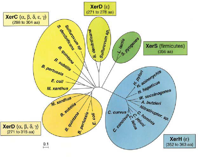 Figure 7-2 Phylogenetic tree of Xer recombinases XerH from subgroup of ε-proteobacteria, represented mostly by Helicobacter and Campylobacter species, compared to XerC and XerD recombinases, from representative α, β, δ and γ taxa and other ε species, and to XerS recombinases, from Firmicutes. There is no phylogenic association between the single recombinases, XerS and XerH. (Figure taken from (Carnoy and Roten, 2009))