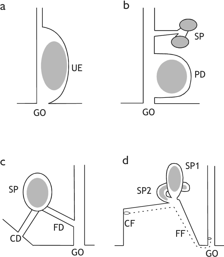 Figure 3 From Female Genital Morphology And Sperm Priority Patterns