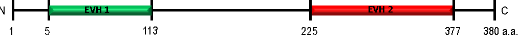 Figure 5. Schematic for the primary sequence of VASP complete with an N-terminal EVH1 domain (that targets focal adhesion/membrane domains) and a C-terminal EVH2 domain that targets focal adhesion/actin binding. (Adapted from [20])