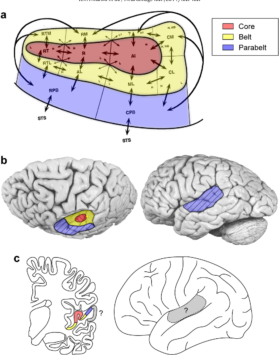 Functional organization of human auditory cortex investigation of figure 1 ccuart