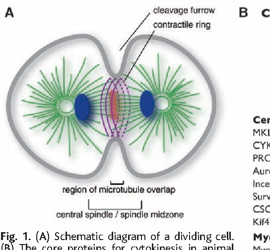 Figure 1 from the molecular requirements for cytokinesis semantic a schematic diagram of a dividing cell b ccuart Gallery