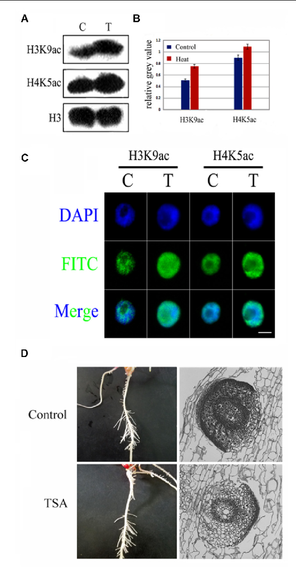 FIGURE 4 | TSA, an epigenetic inhibitor did not inhibit LRP initiation development in maize seedlings. (A,B) Western blot analysis showed that H3K9ac and H4K9ac levels in the maize seedlings was significantly increased after TSA treatment. (C) The nucleus was decondensed after TSA treatment. (D) Phenotype characteristics of maize plants under TSA treatment and control. TSA treatment did not inhibit the LRP initiation in maize, and the paraffin sections of the LRP in roots maize seedling at 3 days under TSA treatment. Western blot experiment is repeated three times. Five hundred nuclei were examined in each sample. Bar = 10 µm.