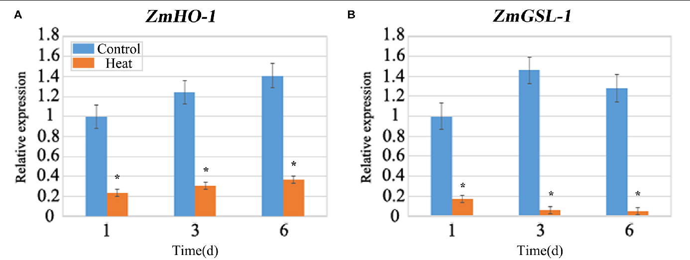 FIGURE 5 | qRT-PCR analysis of the expression levels of ZmHO-1 and ZmGSL-1 genes at 1, 3, and 6 days under heat stress. The transcription level of ZmHO-1 (A) and ZmGSL-1 (B) were significantly inhibited under heat stress. The relative expression level was evaluated from three biological replications. Asterisk (∗) indicated that the expression level of the heat treatment group was significantly different from that of the control group (t-test, p < 0.01).