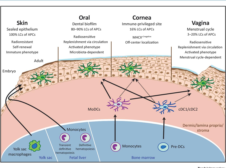 figure 1 from mucosal and skin langerhans cells nurture calls Neutrophil Cell Diagram