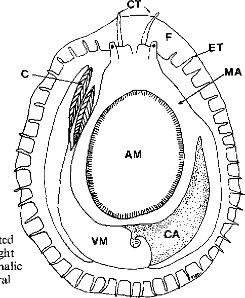 Fine Structure Of The Ovary In The Red Abalone Haliotis Rufescens