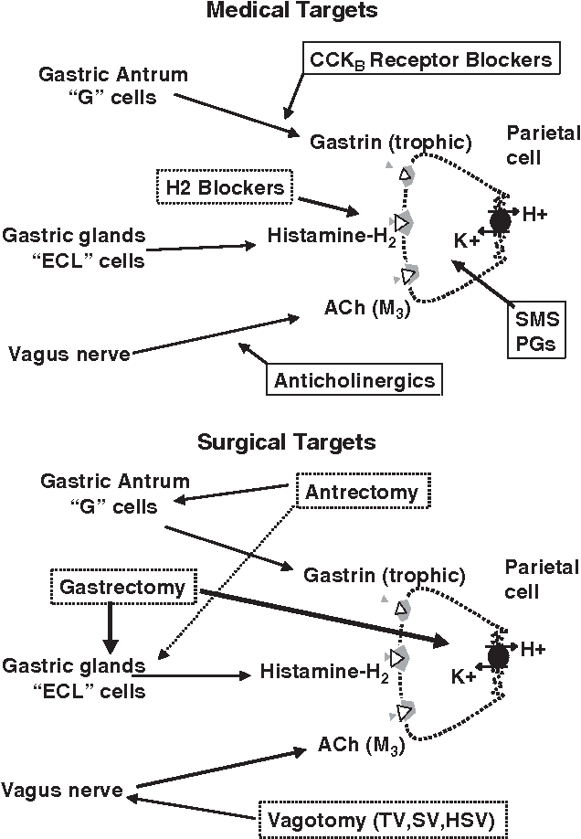 Figure 12 From Anatomy And Physiology Of The Stomach Semantic Scholar