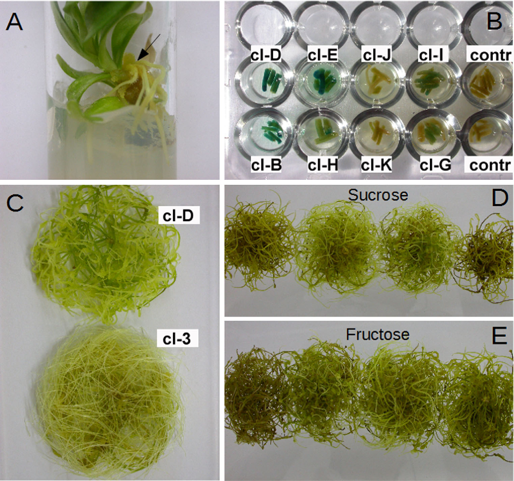 Fig. 1 a Appearance of hairy roots 5 weeks after the inoculation of shoots with A. rhizogenes A4M70GUS bacterial suspension. b Differences in GUS gene expression following root treatments with X-Gluc solution. c Fast growing hairy root clones D (A4M70GUS) and 3 (15834/PI) after 5 weeks on hormone-free liquid medium. d, e Hairy root cultures of clone D on MS liquid medium with 29.2, 58.4, 116.8 and 175.2 mM sucrose (d) or fructose (e), from left to right, after 5 weeks