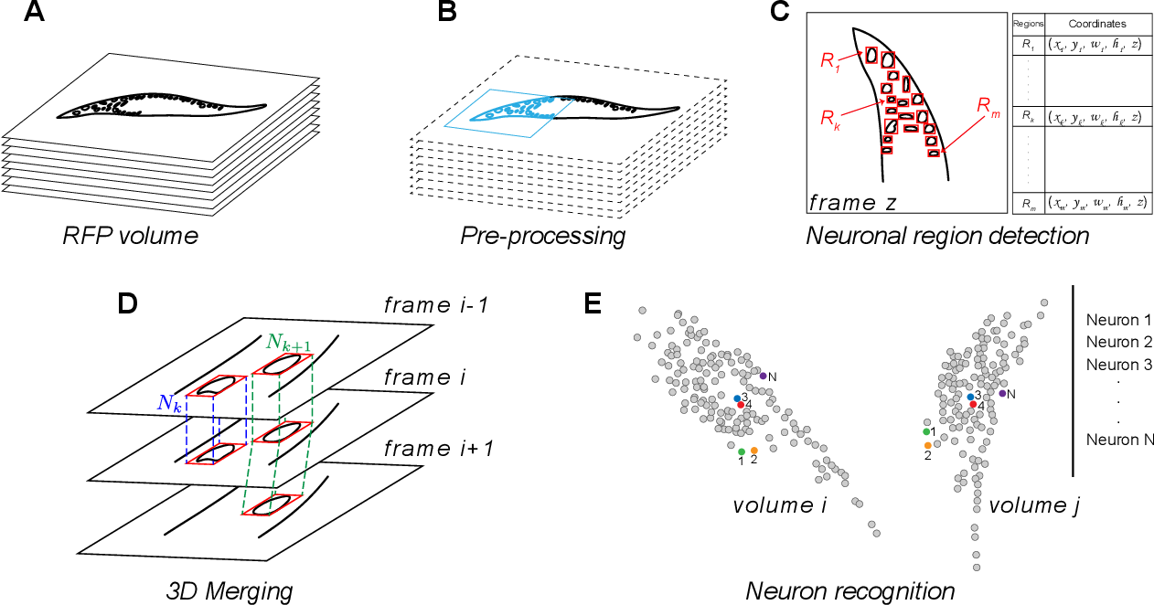 Figure 1 for Rapid detection and recognition of whole brain activity in a freely behaving Caenorhabditis elegans
