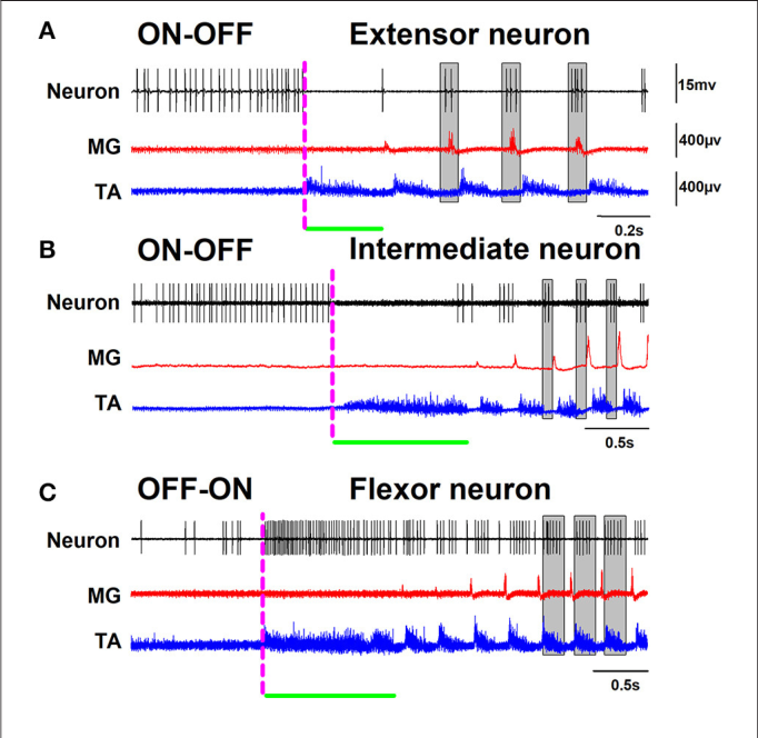 The Spinal Neurons Exhibit An On Off And Off On Firing Activity