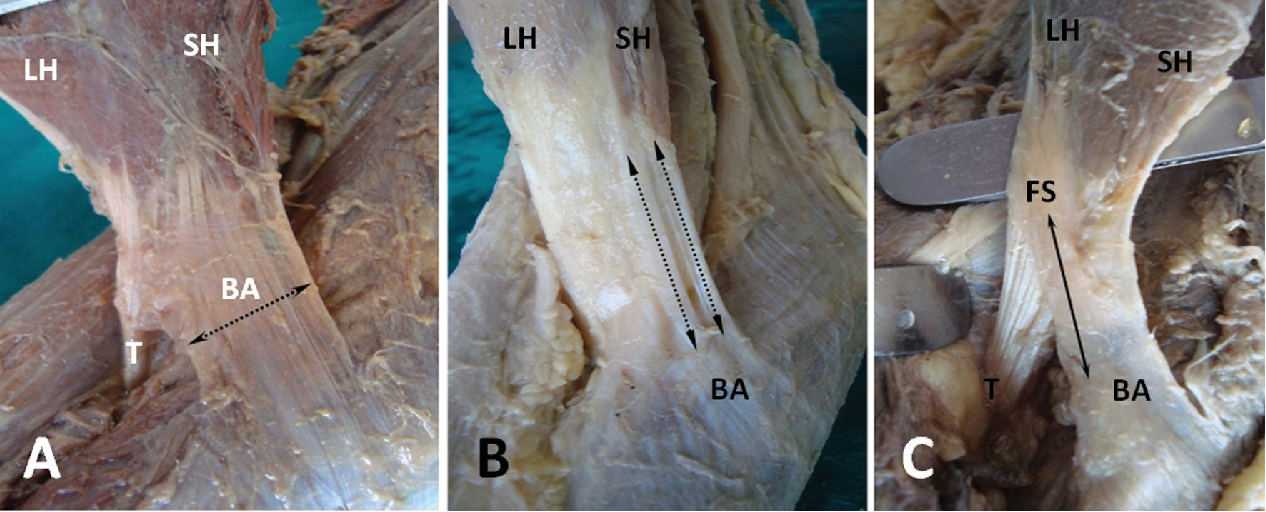 structure of aponeurosis of biceps brachii muscle semantic scholar