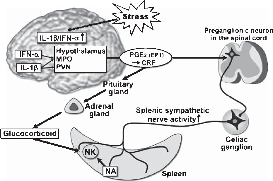 Fig. 1. Schematic illustration of hypothalamo-sympathetic/pituitary-adrenal modulation of splenic NK cell activity. Non-inflammatory stress induces IL-1 and IFN- in the hypothalamus, which act on the MPO/PVN, resulting in the activation of splenic sympathetic nerve and the HPA axis through PGE2-EP1 receptor coupling and the following CRF activation, thereby suppressing splenic NK cell activity. IFN- exclusively activates sympathetic nerve, while IL-1 does both sympathetic nerve and the HPA axis. In detail, see text. MPO, medial preoptic area; PVN, paraventricular nucleus; PGE2, prostaglandin E2; CRF, corticotropin releasing factor; NK, natural killer cell; NA, noradrenaline.