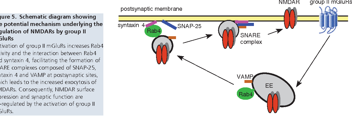 Snare Proteins Are Essential In The Potentiation Of Nmda Receptors