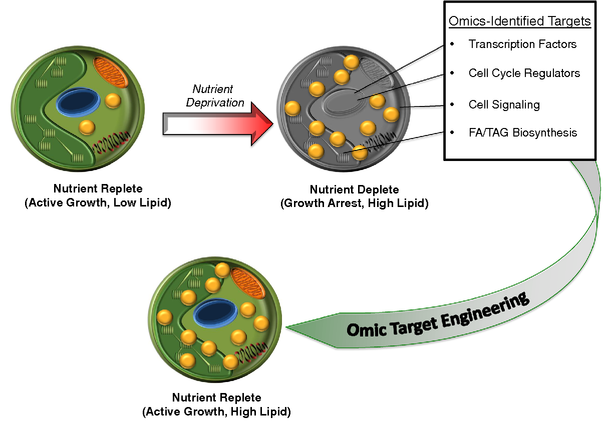 Algal omics unlocking bioproduct diversity in algae cell factories figure 1 ccuart Gallery